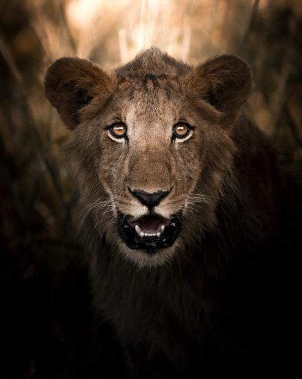 Photo Print Lion