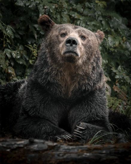 Wandbild Grizzlybär