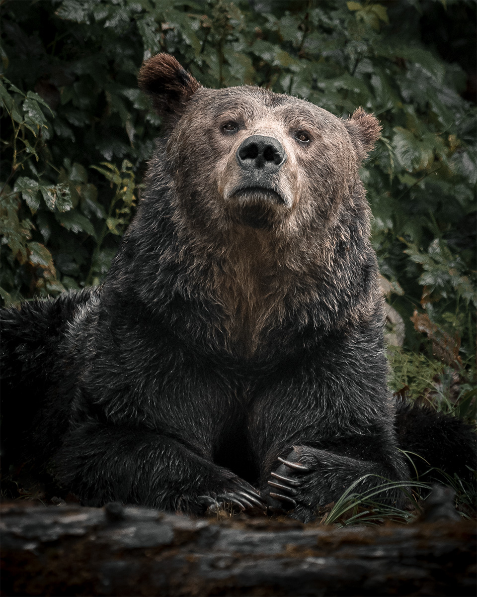 Photo Print Grizzly Bear