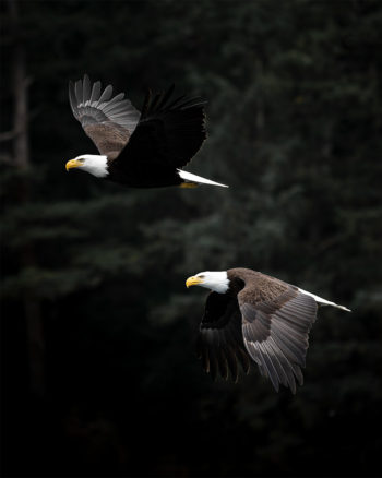 Photo Print -Bald Eagle