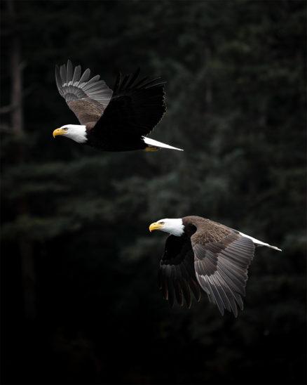 Photo Print -Bald Eagle
