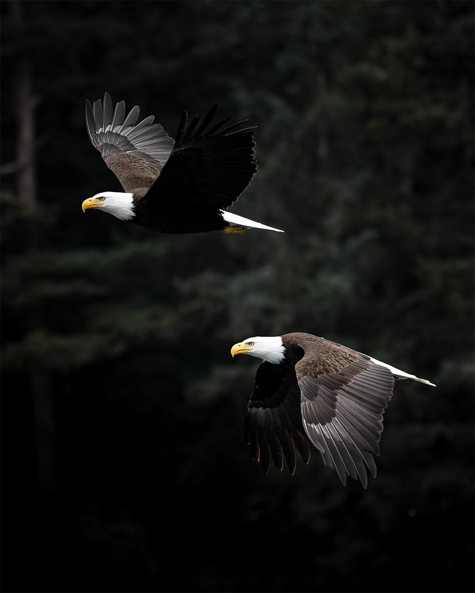 Wandbild Weißkopf-Seeadler